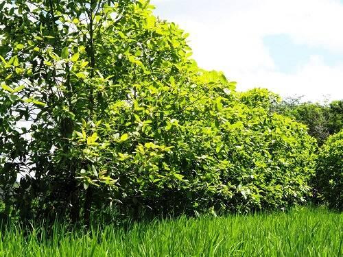 Was genau ist Kratom? Kratom ist ein Laubbaum, welcher in Indonesien wächst.