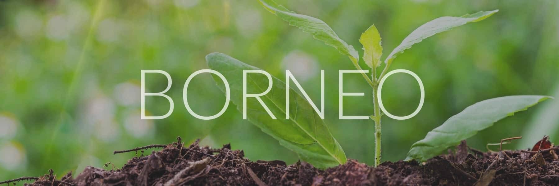Borneo Kratom kaufen im Onlineshop