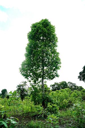 Der Kratombaum Mytragina Specioasa