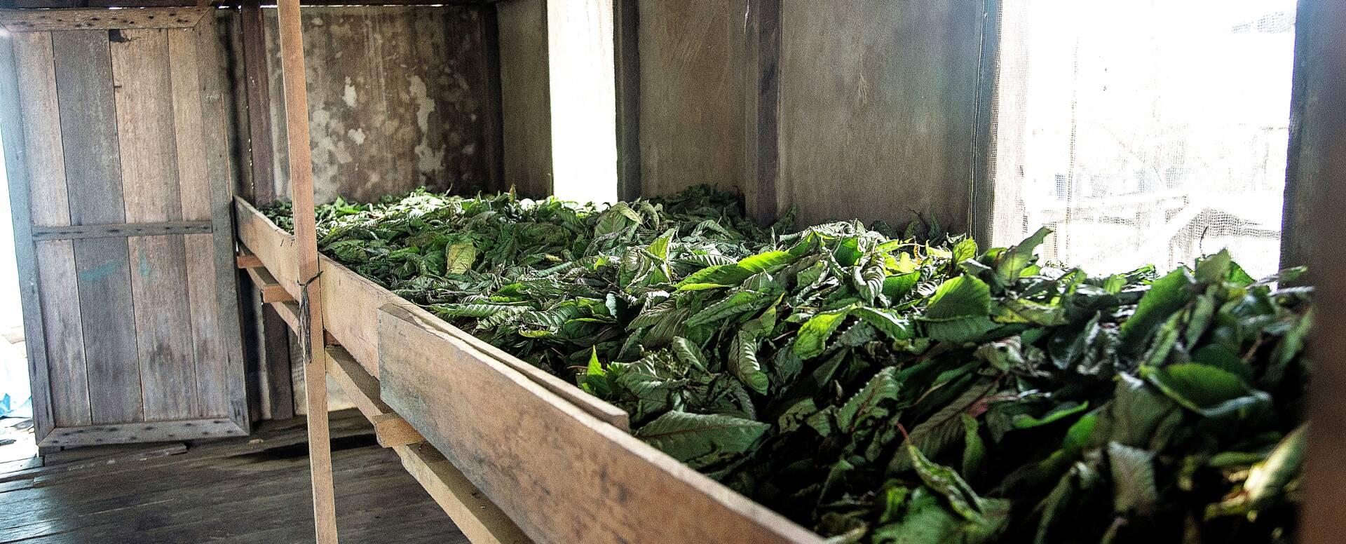 Kratom Blätter bei der Trocknung und weiterverarbeitung zum Pulver
