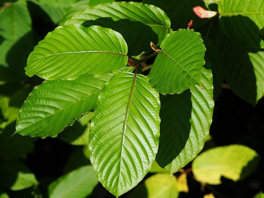 Blätter des Kratombaumes in Indonesien